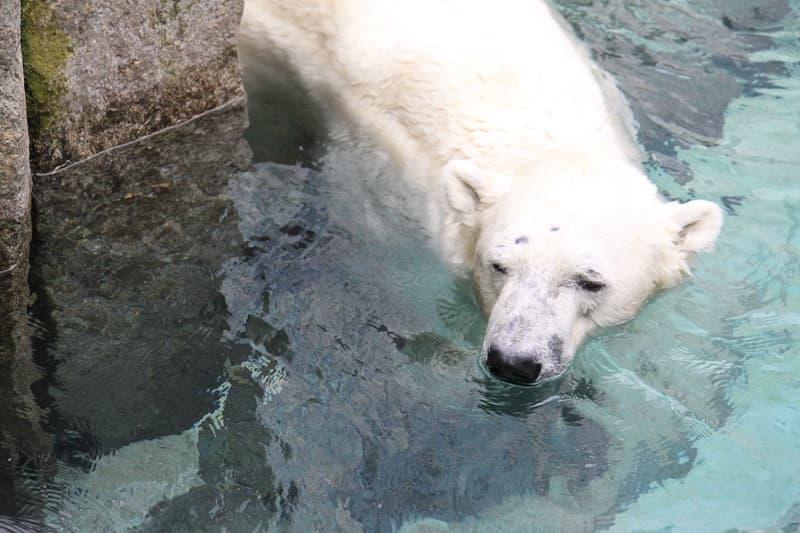 上野動物園シロクマ