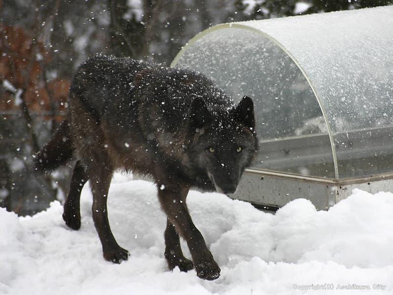 狼の森 旭山動物園