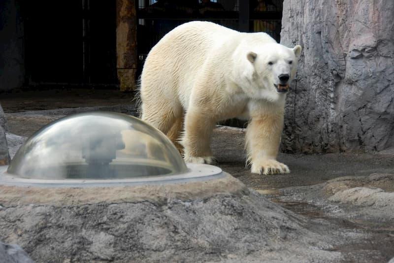 旭山動物園ホッキョクグマ館