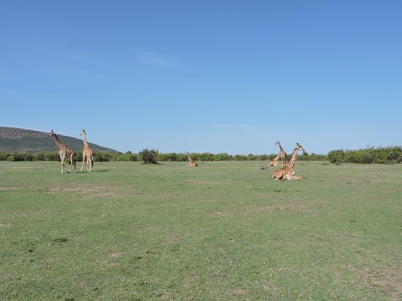 キリンの群れ