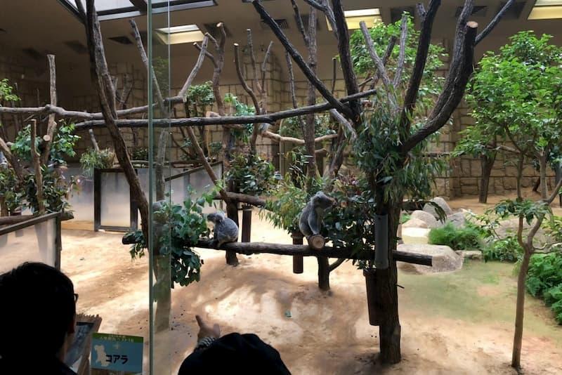 東山動物園コアラ
