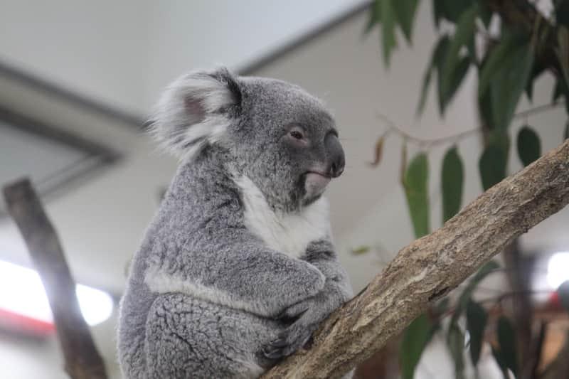 木の上で座るコアラ