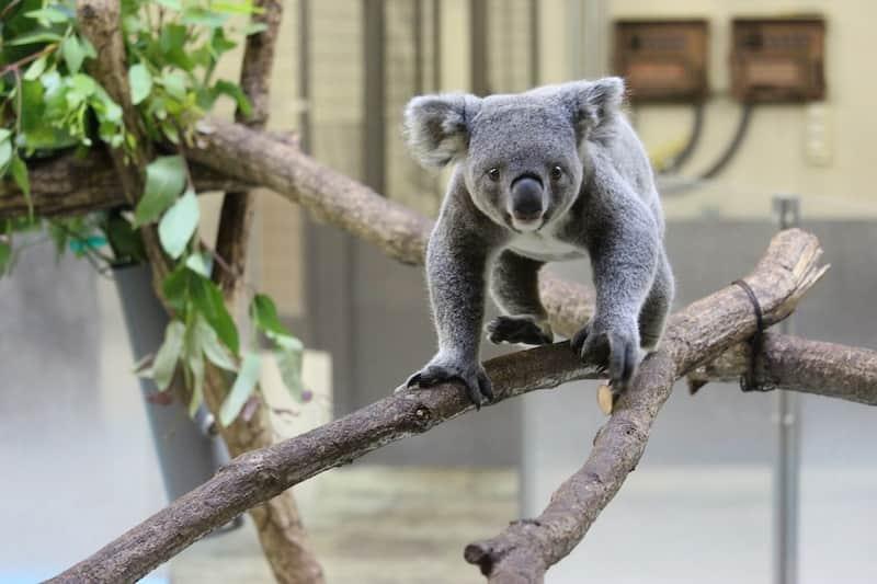木の上を歩くコアラ