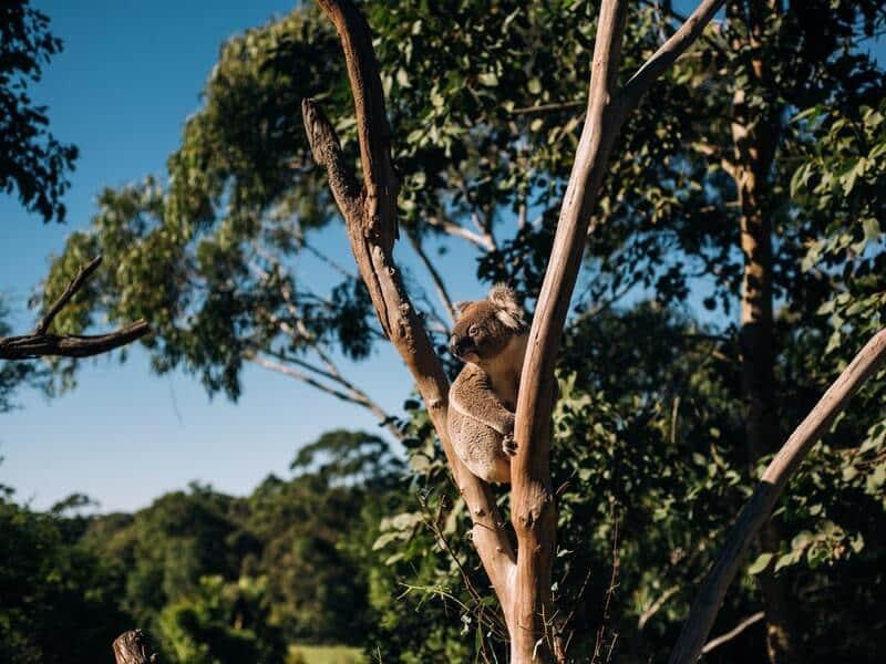 森の木のコアラ