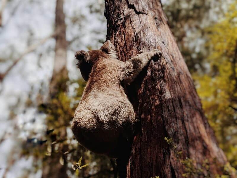 木に登るコアラ