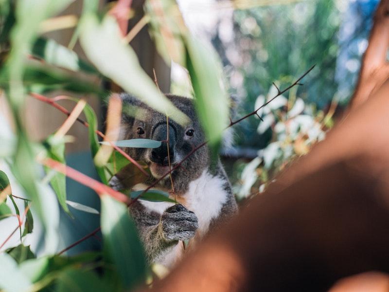 ユーカリの隙間からコアラ