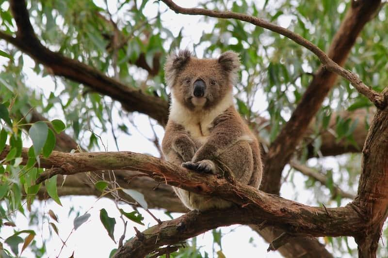 茶色いコアラ