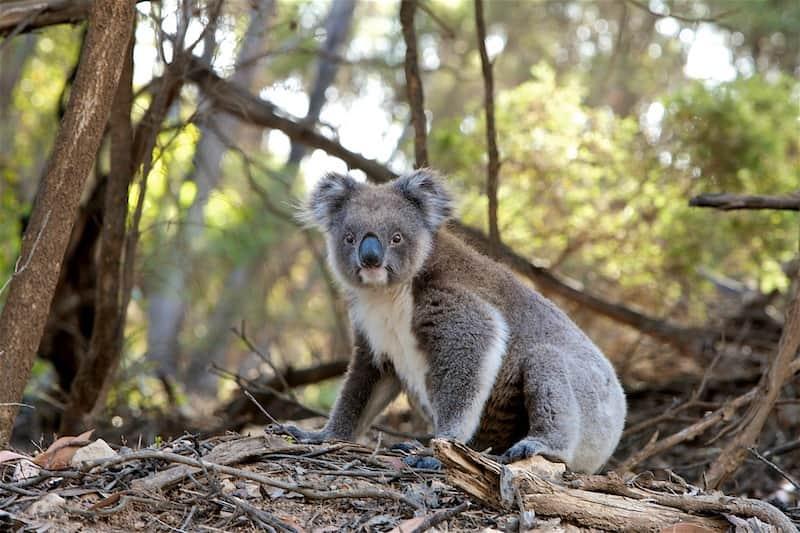 地上に下りたコアラ
