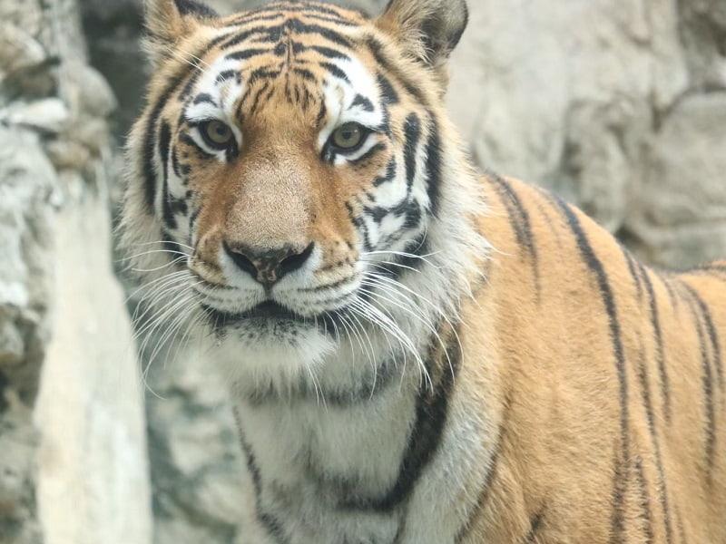 日本平動物園トラ