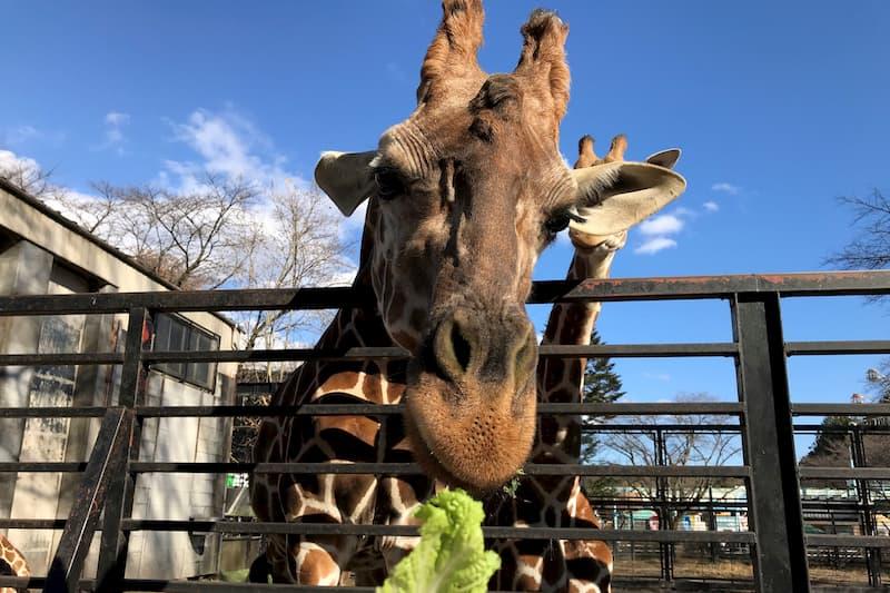 宇都宮動物園キリンのエサやり