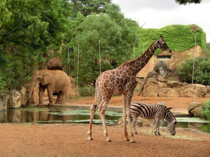 八木山動物公園キリン、シマウマ、ゾウ