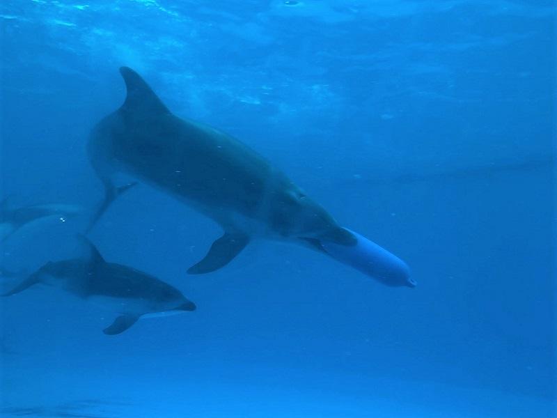 鴨川シーワールドのイルカ