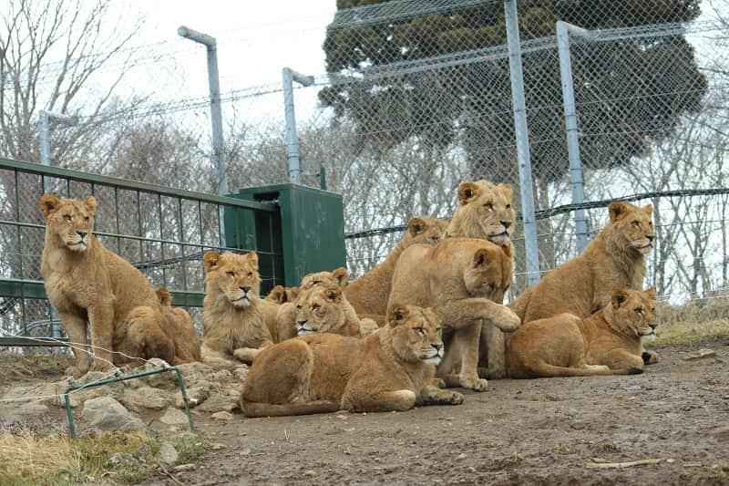 メスライオンの群れ
