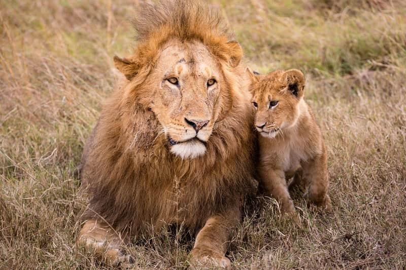 寄りそうライオンの親子