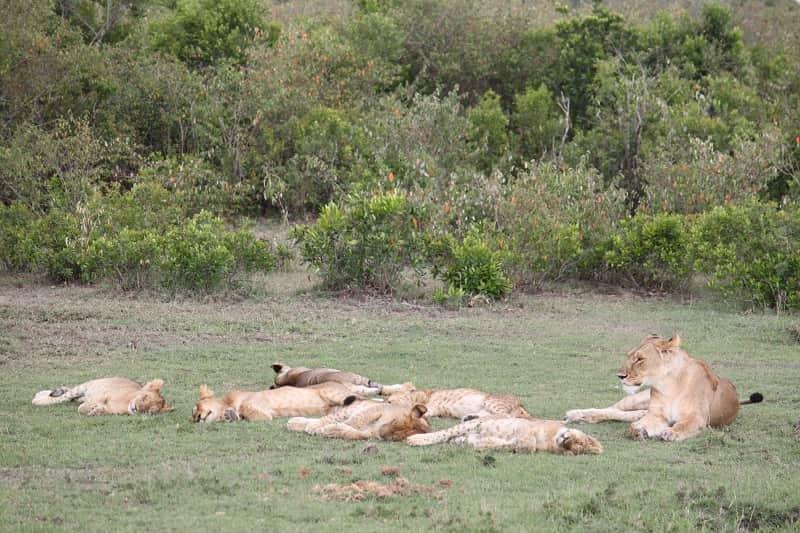 草むらで休むライオンの群れ