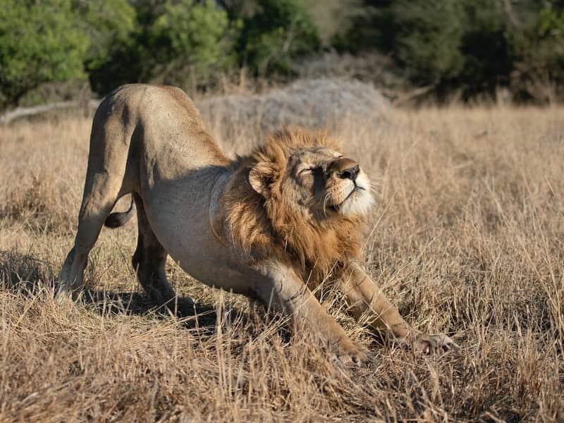 伸びをするライオン