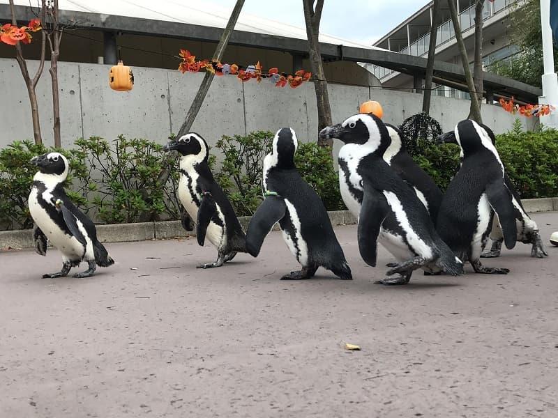 八景島シーパラダイスのペンギンの散歩
