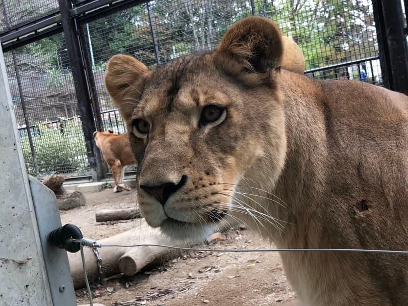 桐生が岡動物園のライオン