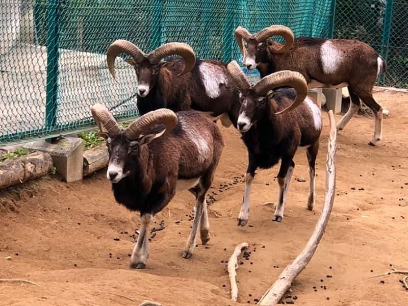 桐生が岡動物園のムフロン