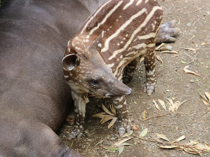 伊豆シャボテン公園バクの赤ちゃん