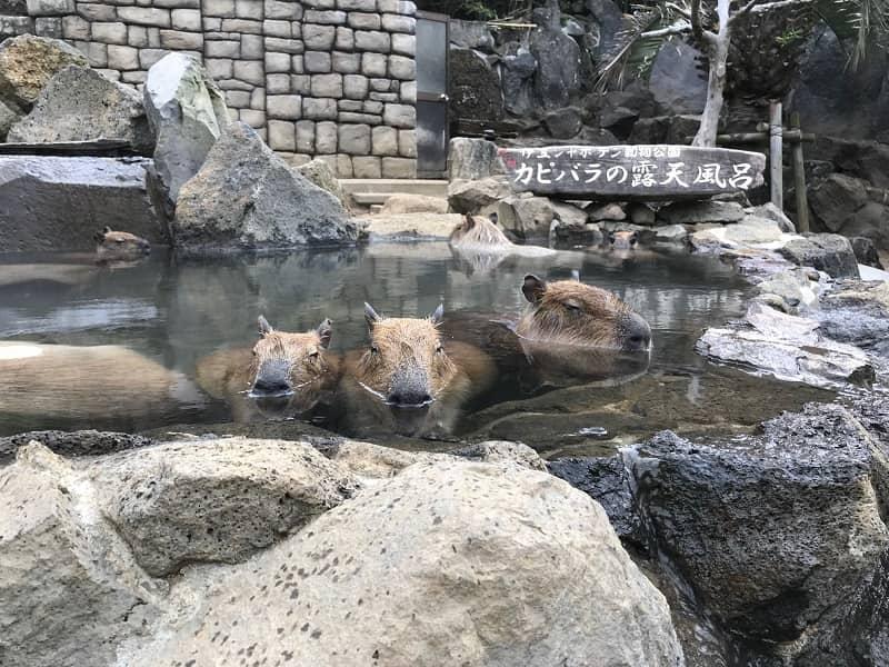 伊豆シャボテン公園カピバラ露天風呂