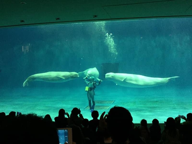しまね海洋館アクアスベルーガのショー