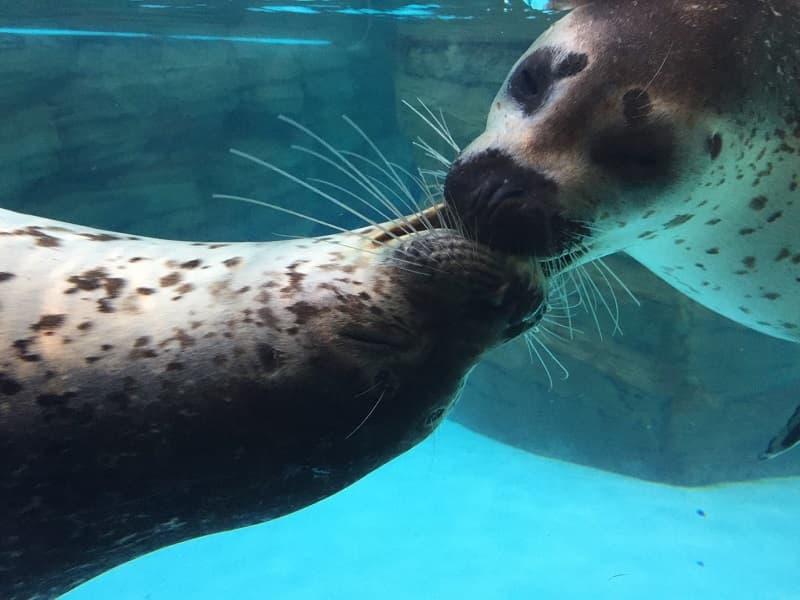 しまね海洋館アクアスアザラシ