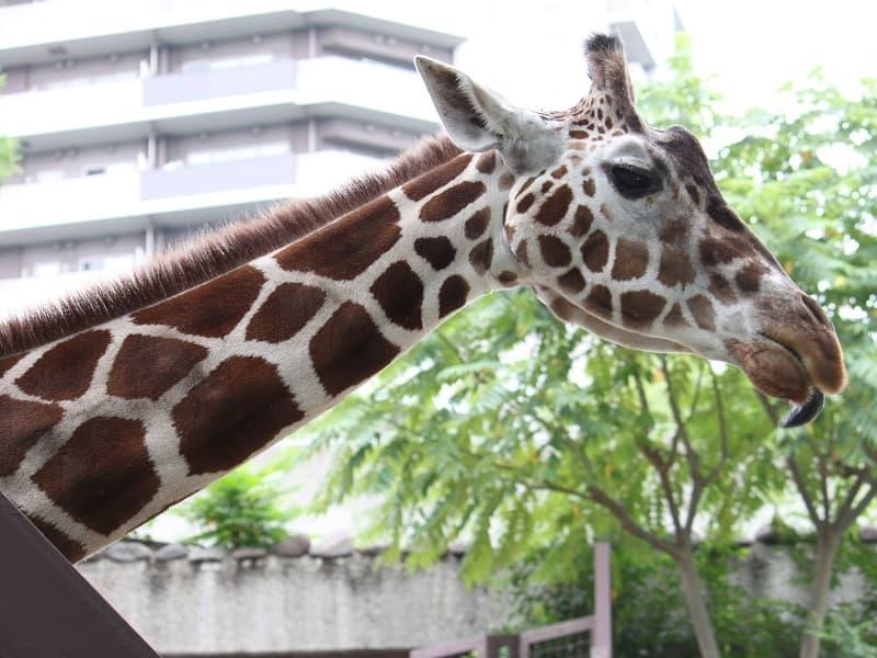 上野動物園キリン